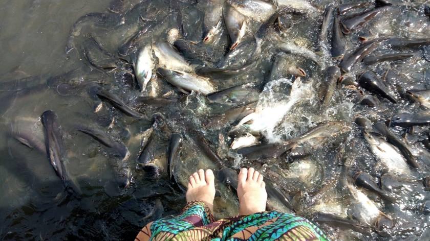 feeding fish khlong bangluang